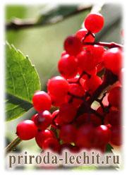 Лечение бузиной, полезные свойства бузины красной