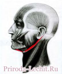 Двубрюшная мышца