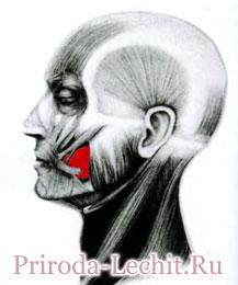 Щечная мышца, или мышца трубачей