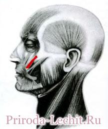 Мышца, поднимающая угол рта, или собачья мышца