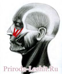 Мышца, поднимающая верхнюю губу