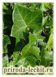 ядовитые растения, ядовитый плющ